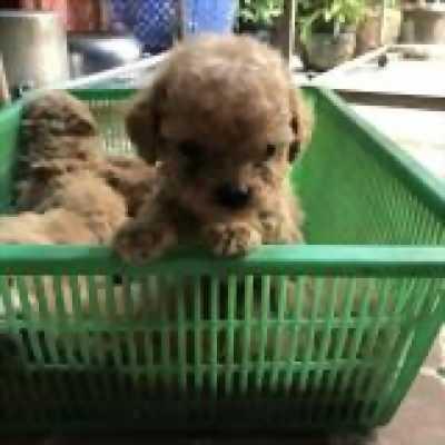 Cần bán bầy Poodle thuần chủng chó nhà đẻ
