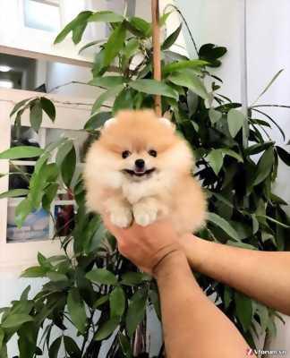 Cần bán bầy Poodle và Pomeranian xinh xắn