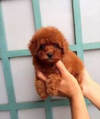 Bán chó Poodle nhà đẻ,  mặt ngắn cực xinh