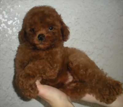 Bán chó Tiny Poodle cái nâu đỏ