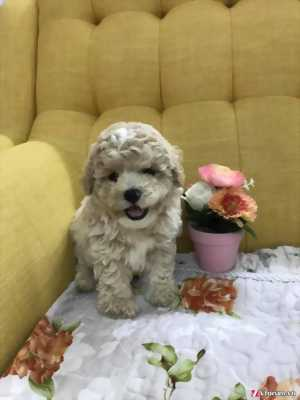 Bán chó Poodle tiny