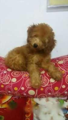 Bán chó poodle nâu sáu tháng giới tính đực