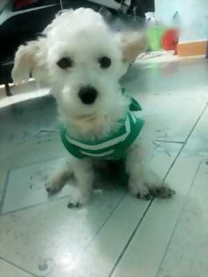 Bán chó Poodle tiny trắng,  mười hai tháng tuổi