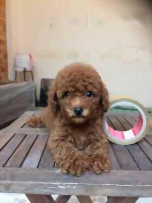 Bán chó Poodle màu nâu đỏ đực/ cái