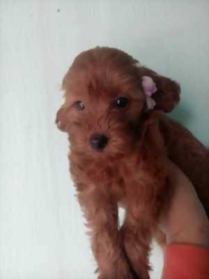 Chó Poodle tiny