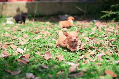 Bán Toy Poodle size Tiny 2 tháng