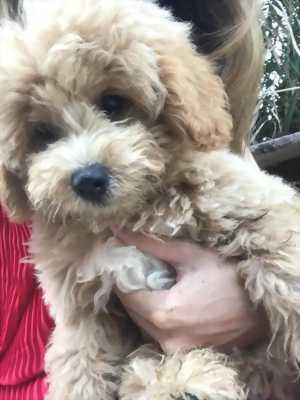 Bán chó Poodle ở Tiền Giang