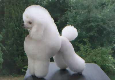 Cún Poodle tini lai phốc sóc