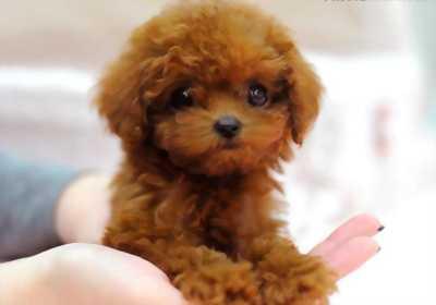 Chó poodle nhà đẻ rất xinh