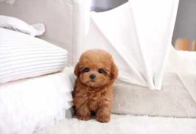 Chó Poodle con