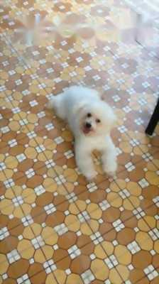 Poodle Dog.