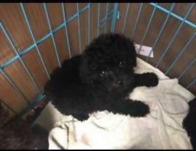 poodle tiny 3th tuổi