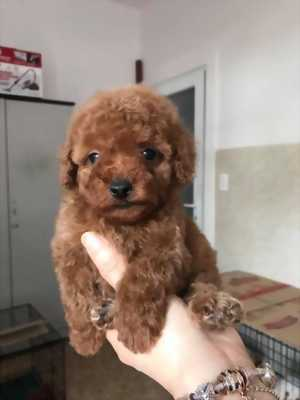 Hot bán poodle tiny nâu đỏ giá rẻ