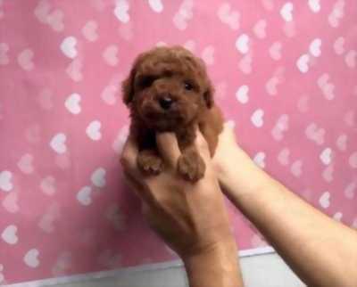 Mình cần lại bán chú Poodle tiny với giá cực shock.