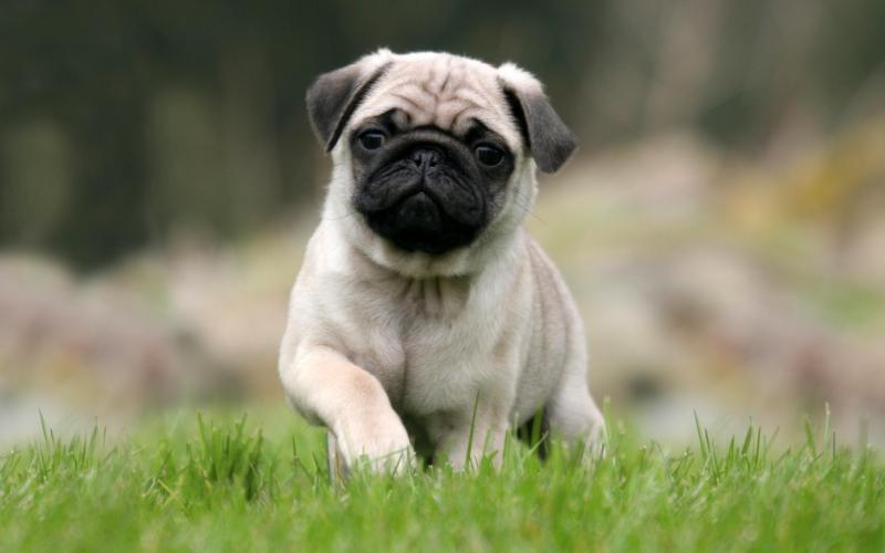 Bạn muốn nuôi một chú chó Pug?