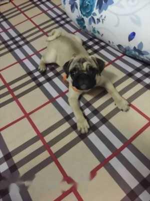 Bán chó Pug cái ba tháng tuổi