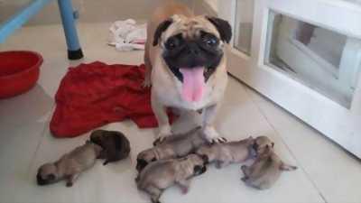 Cần bán bầy 6 bé Pug mặt xệ dễ thương
