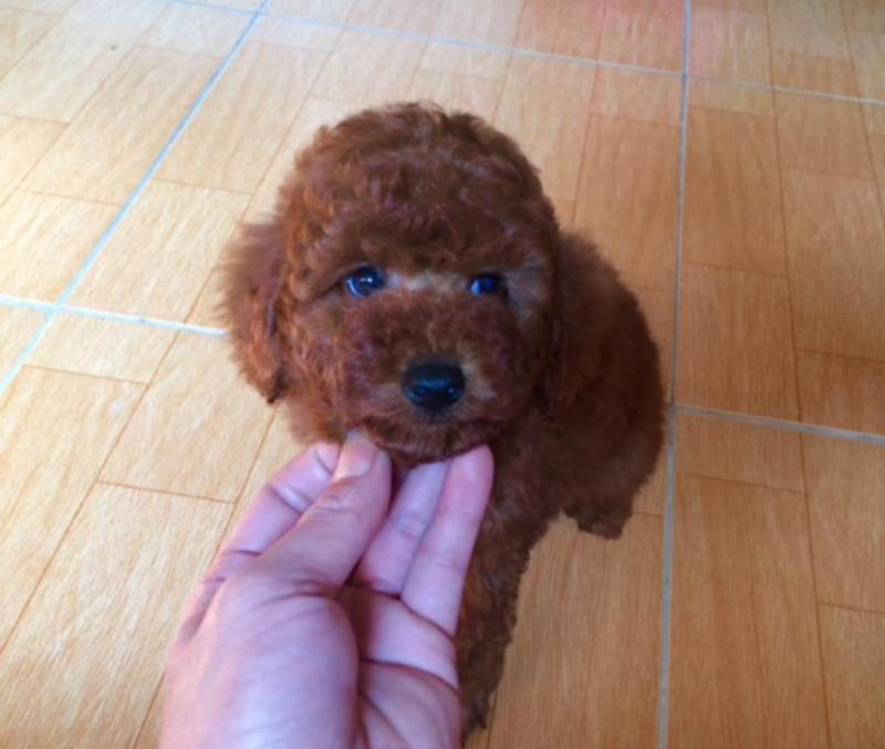 Chó poodle Tiny thuần chủng 2 tháng tuổi