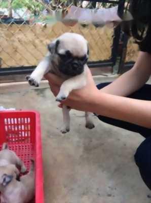 Cần chủ mới cho bé Pug