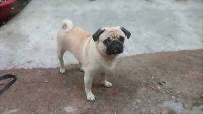 Pug mười một tháng tuổi