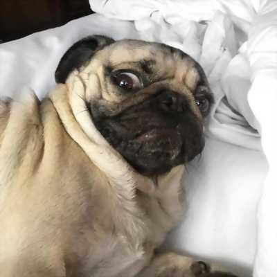Chó Pug 65ngày
