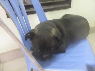 Bán chó pug có màu socola giá rẻ