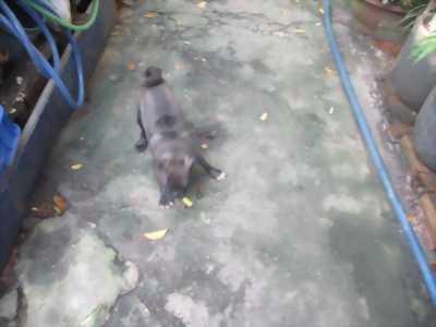 Bán chó Pug đen giá siểu rẻ.