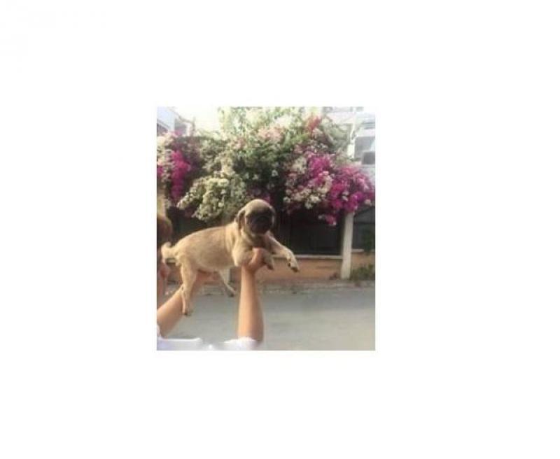 Bán chó pug giá siêu mền mại