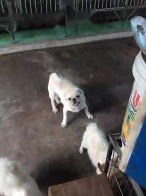 chó pug trương thành, đực trắng, cái đen.