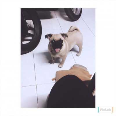 Chó pug đực thuần chủng 6 tháng tuổi