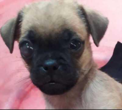 Đàn 5 bé cún pug nhăn phóc 2 tháng tuổi thuận an bình dương