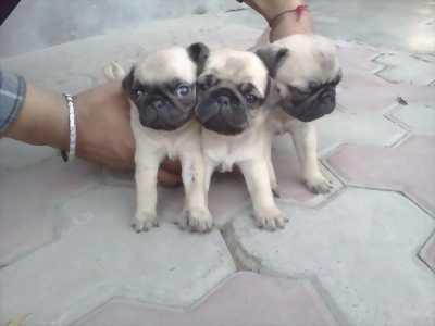 Pug thuần chủng 3 đực 1 cái