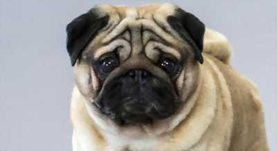 Cần bán chó pug