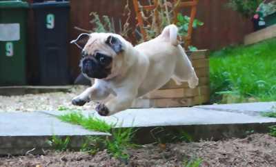 Nhận đặt và bán đàn chó Pug mini đầu tháng 6/2018
