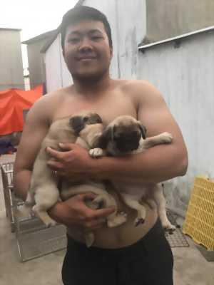 Cần bán chó pug sinh sản tại nhà