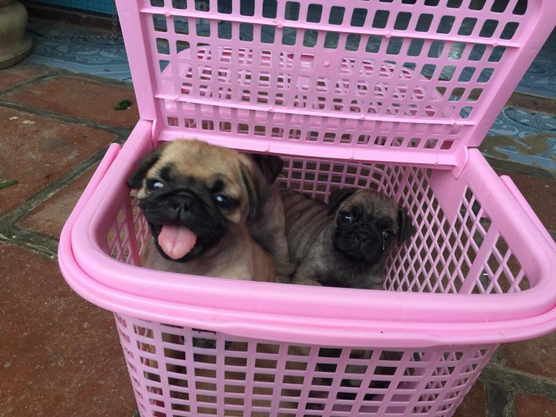 Chào bán đàn chó Pug đáng yêu tháng 6.