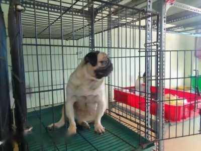 Bán Pug trưởng thành thuần chủng