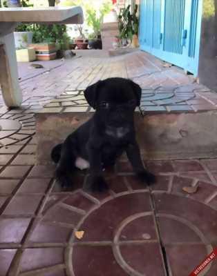 Bán nhanh 2 bé Pug đen