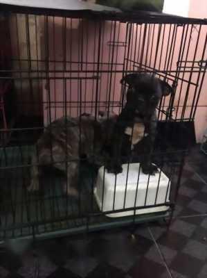 Bán chó Pug lai bull Pháp hai tháng tuổi
