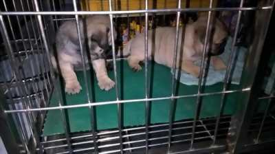 Bán chó Pug đực 2. 5 tháng