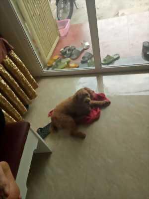 Chó phôcs đực