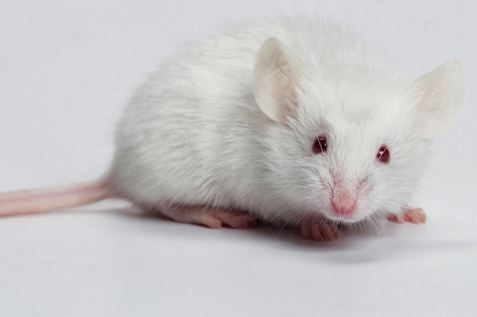 chuột bạch tạng
