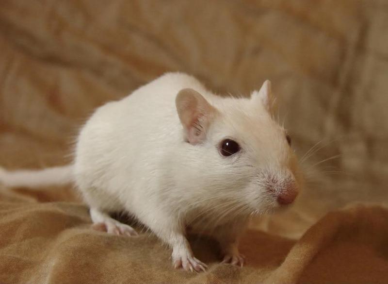 Chuột bạch bán ở đâu tại TpHCM và những kinh nghiệm chọn nơi bán