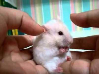 Bán chuột bạch nuôi cảnh, ăn khỏe