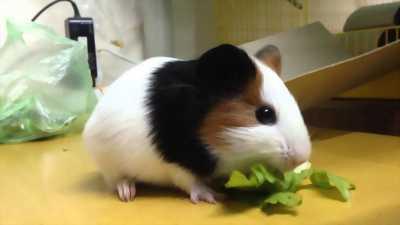 Chuột lang guinea pig abby thái cực rẻ