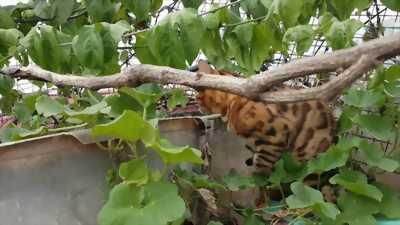 Mèo Bengal Đực