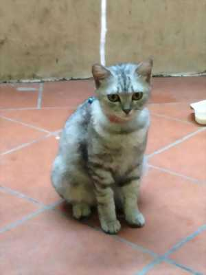 Mèo đực scotish tabby