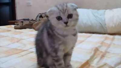 Muốn tìm chủ cho bé mèo scottish cái