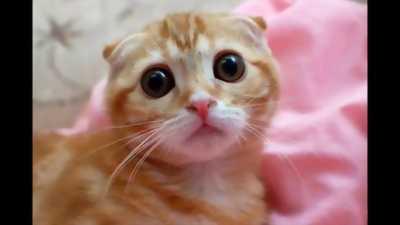 Bán mèo scottish cái màu vằn vàng