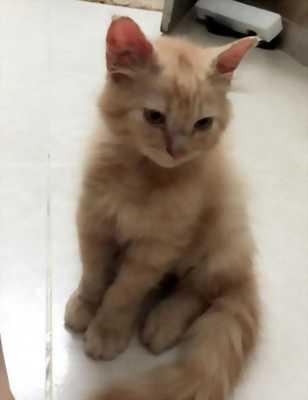 Mèo lông xù